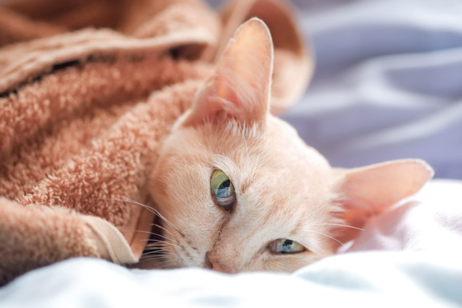 Seizures in cats: what pet parents need to know